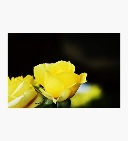 Little yellow rose.... Photographic Print