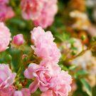 Pink buds by DDLeach