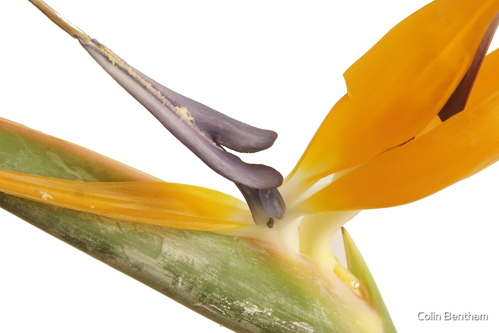Bird of Paradise by Colin Bentham