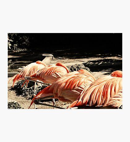 Sleeping Flamingos Photographic Print