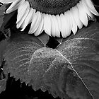Mono Sunflower by David Schroeder