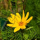 Yellow Wild Flower aka Cosmos by davesphotographics