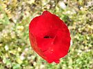 Really Red - A poppy at the roadside by Themis