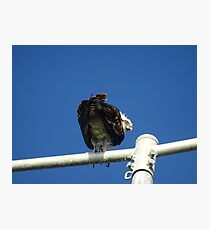 Osprey - Cottesloe - predator with attitude Photographic Print