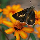 Velvet wings by Tracey Hampton