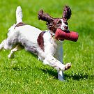 Springer Spaniel at Gun dog trials by Dave  Knowles
