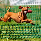 Vizsla returning with dummy at Game fair  by Dave  Knowles