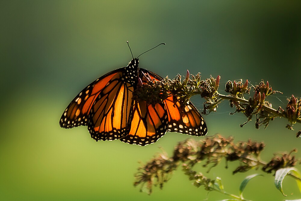 Monarch Butterfly in Its Glory! by Trudy Wilkerson
