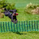 Cocker spaniel in the air by Dave  Knowles