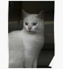Witje adorable white cat Poster