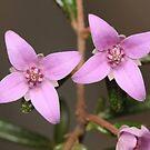 Two Boronia Flowers by Andrew Trevor-Jones