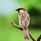 Common House Sparrow - Breeding Male by Lynda   McDonald