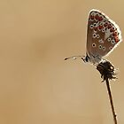 Brown Argus butterfly - Wanstead Park London by Chrismoss