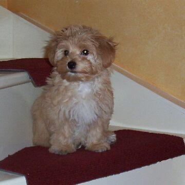 havanese puppy on stair by marasdaughter