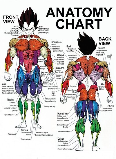 Anatomy Chart Muscle Diagram Exercise Science Posters By