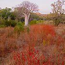 Boab in field of rosella by Stephen Colquitt