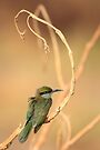Little Green Bee-Eater 1 by David Clark