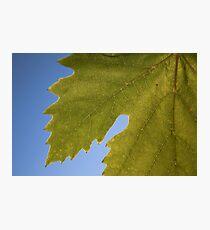 Wine Leaf Canada Photographic Print