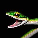 Ahhhhh! Parrot Snake. by MyFrogCroaked