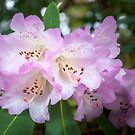 White Rhododendron Flowers with a purple fringe by Danielasphotos