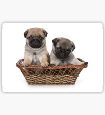 two cute pug puppy Sticker