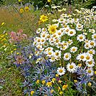 Daisies  Galore by DIANE  FIFIELD