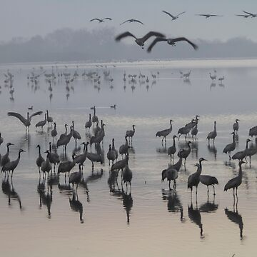 Common crane (Grus grus). Large migratory crane species that lives in wet meadows and marshland. by PhotoStock-Isra