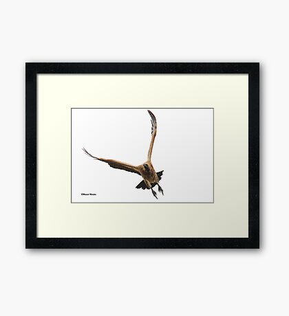 Cape (Griffon) Vulture - Gyps coprotheres Framed Print