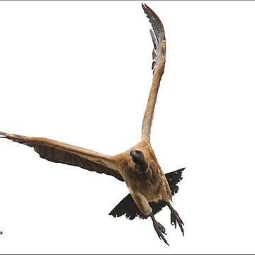 Cape (Griffon) Vulture - Gyps coprotheres by mags