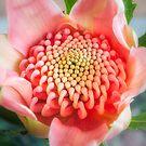 Wonderful bright pink waratah bud by Danielasphotos