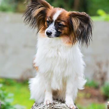 Outdoor portrait of a papillon purebreed dog by anytka