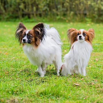 Outdoor portrait of a papillon purebreed dogs on the grass by anytka