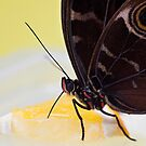 Macro shot of morpho butterfly sitting on orange and eating by anytka