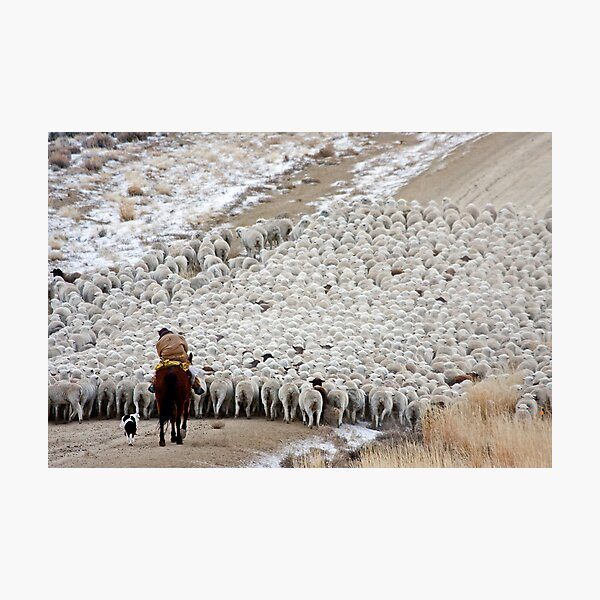 Wave of Sheep, Red Desert, Wyoming Photographic Print