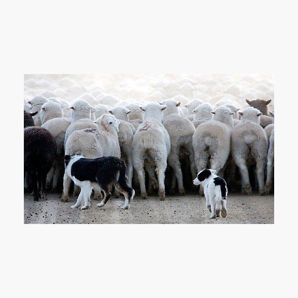 Sheep Dog in Training, Red Desert, Wyoming Photographic Print