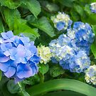 Blue and Yellow Hortensia Flowers by Danielasphotos