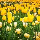 Yellow and White Tulips in Canberra in Spring by Danielasphotos