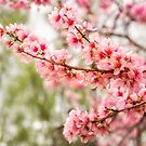 Wonderful Pink Cherry Blossoms at Floriade by Danielasphotos