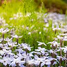 Sun-kissed Meadows with White Star Flowers by Danielasphotos