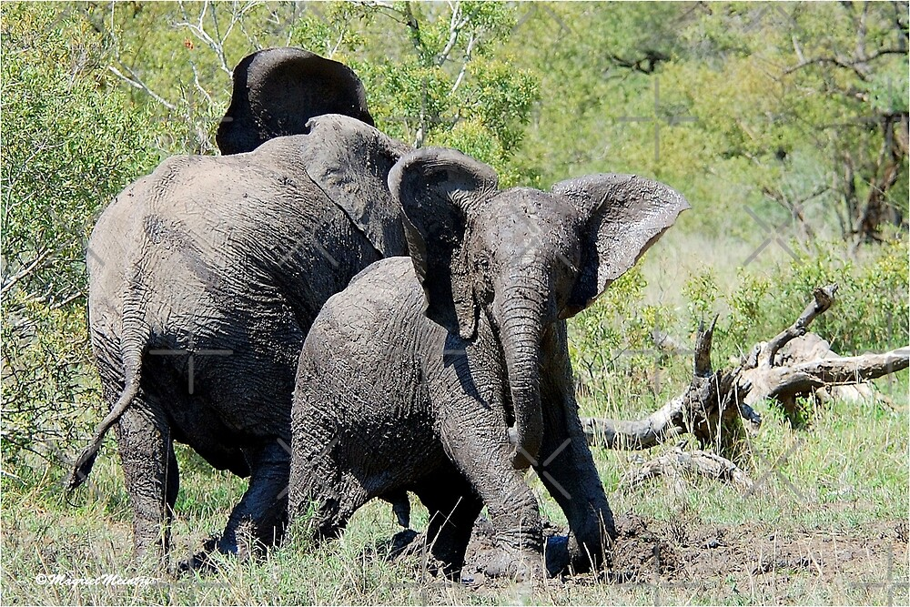 O NO, THIS IS MY SPACE! THE AFRICAN ELEPHANT – Loxodonta Africana - AFRIKA OLIFANT by Magriet Meintjes