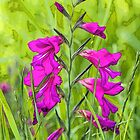 Wild Gladioli by John Thurgood