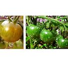 Tomato Drop Stories by Charlotte Harold