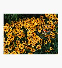 Black-eyed-Susans Photographic Print