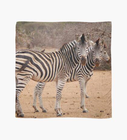 TWO OR THREE ? -  BURCHELL'S ZEBRA – Equus burchelli – Bontkwagga Scarf