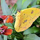 Clouded Yellow Butterfly by Dawne Dunton