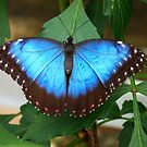 Blue Butterfly by LumixFZ28