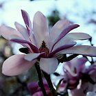 Magnolia Season by Evita