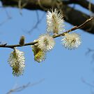 Pussy Willow by LumixFZ28