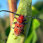 Longhorned Milky Dew Bug by Carla Wick/Jandelle Petters
