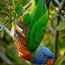 Just hanging. (Rainbow Lorikeet) by theleastone